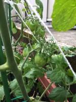 利楽トマト